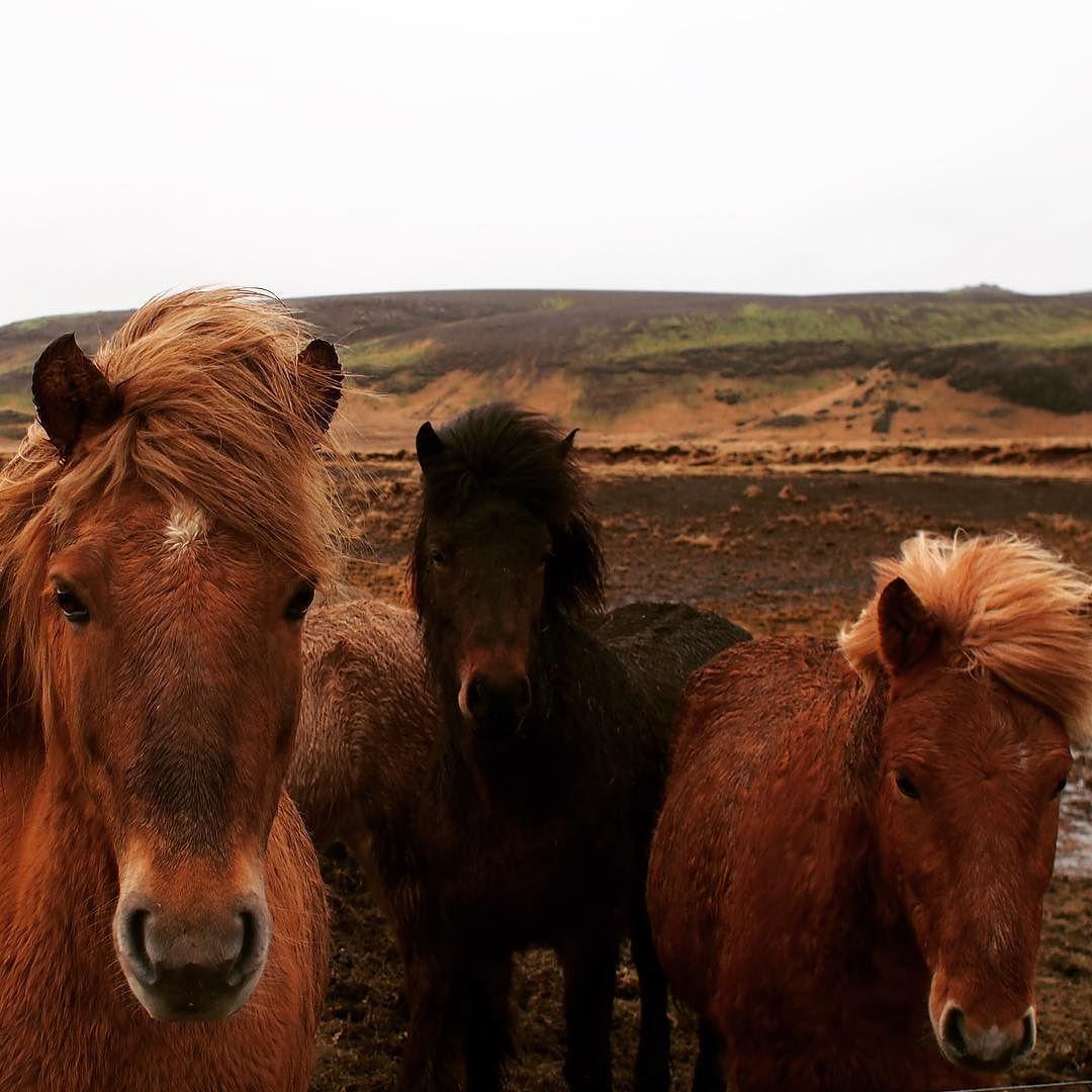 Icelandic horses #icelandichorse